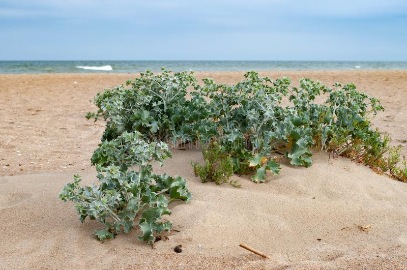 Feverweed plant bushes are growing on clean sand. Of Black Sea coast in Ukraine. Fresh Eryngium plant bunches on sandy background. Summer nature. Seascape with royalty free stock photography