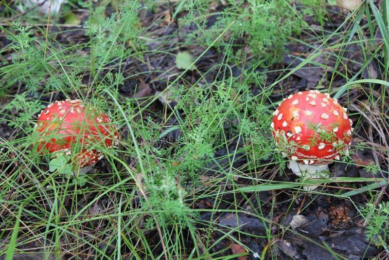 Few amanita pieczarki w lasowej haliźnie obrazy royalty free