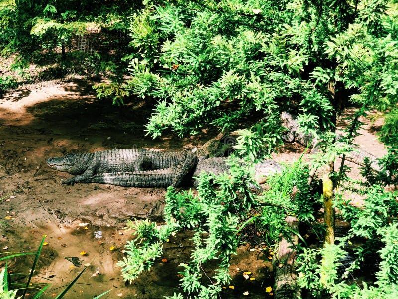Few amerykańscy aligatory kłama na ziemi wśrodku queens zoo obraz stock