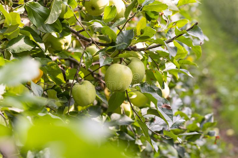 A few Apples hanging on an Apple Tree and are surrounded by many leaves. A few Apples hanging on an Apple Tree and are surrounded by many green leaves. The tree royalty free stock photography