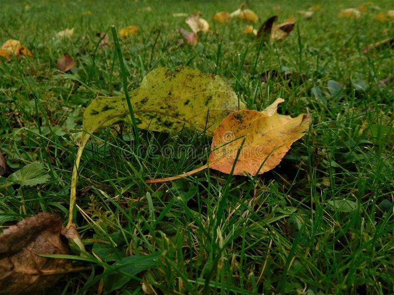 A few autumn leaf in green landscape. Detail for two leaves. stock photo