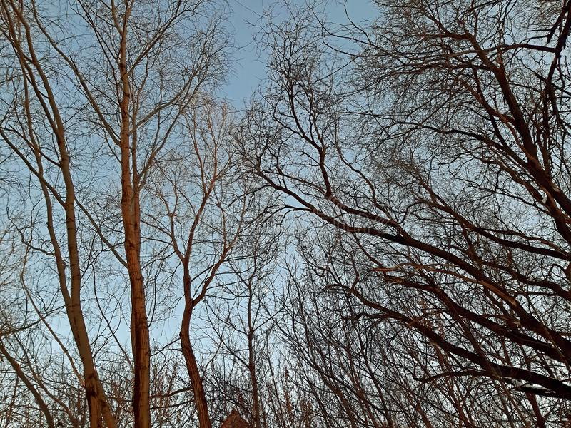 A few branches of trees on the clear sky in the winter stock photos