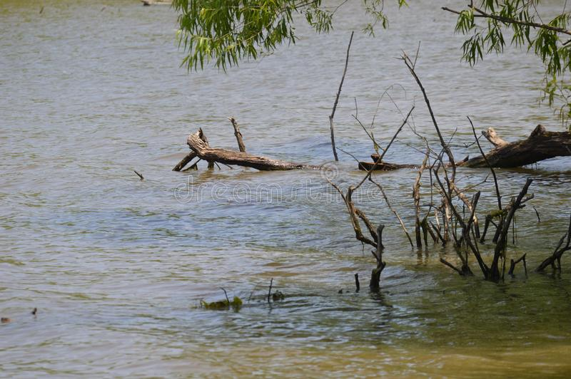 Wooden Branches Partially Submerged in Water. A few brown branches partially submerged in water.  Small sticks are poking up out of the water royalty free stock photos