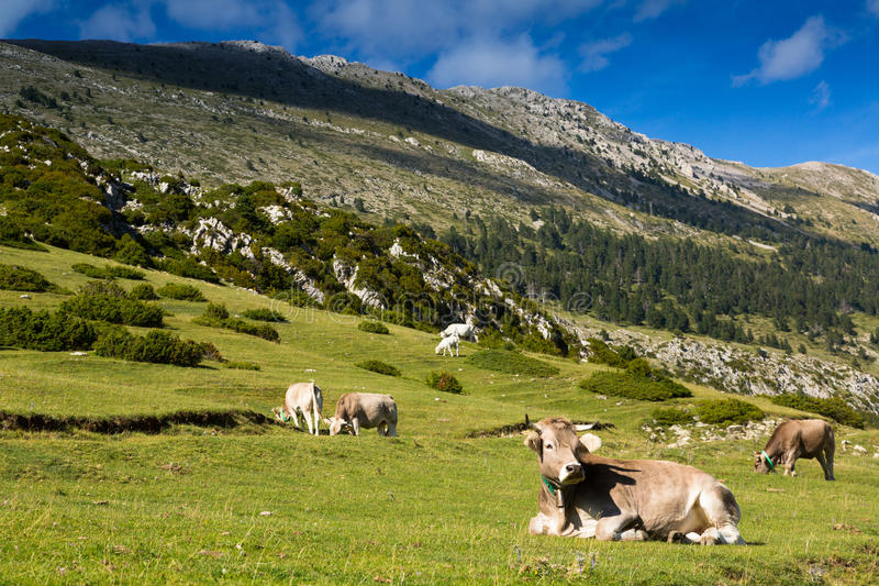 Few cows in mountain meadow stock image