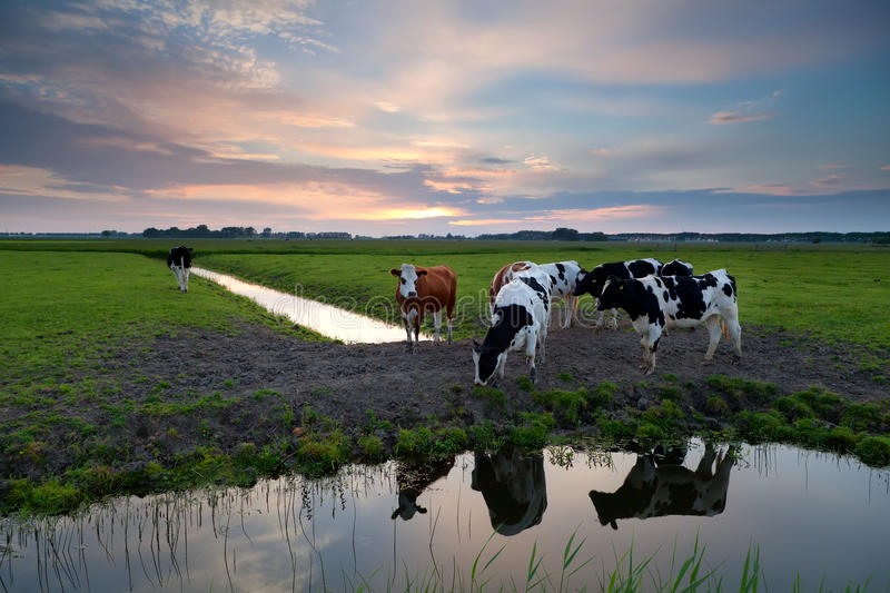 Download Few Cows By River At Sunset Stock Photo - Image: 33474838