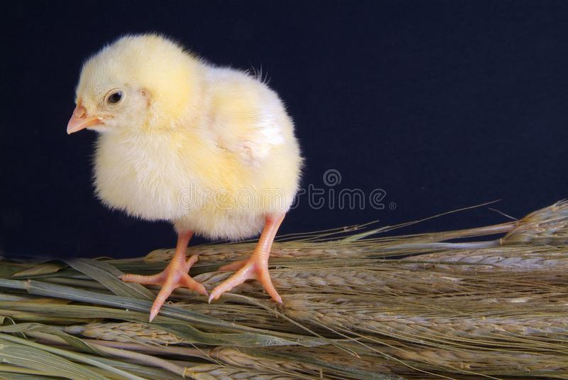 A few days old chick stock image