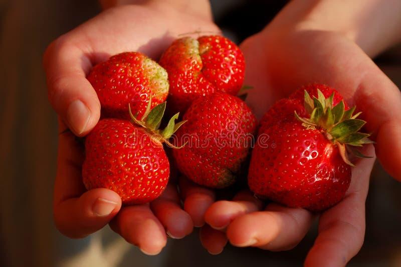 Few fresh strawberries on hands. royalty free stock photo