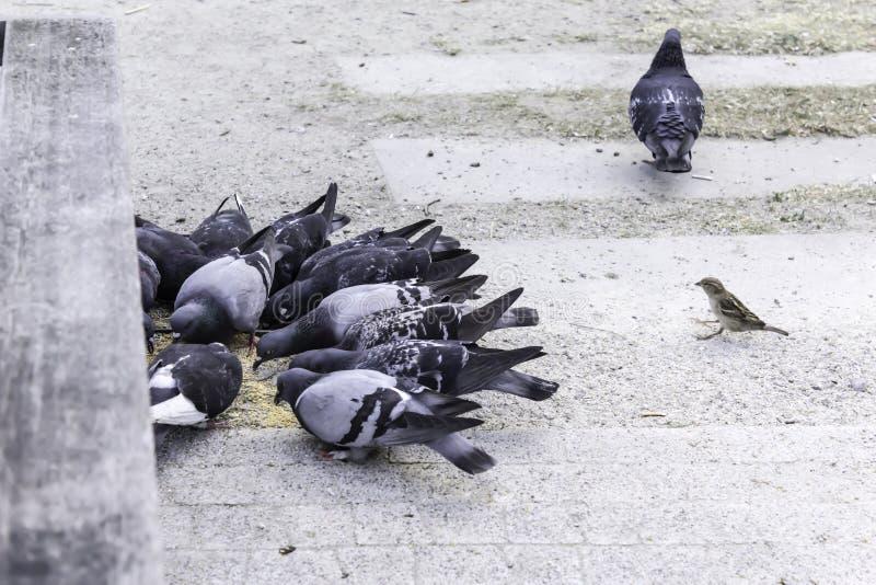 Few gołębi żarcie rozpraszał adrę ale jeden gołębia obracającego daleko od, obrazy royalty free