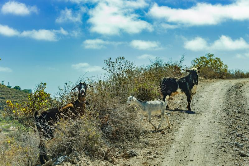 A few goats grazing on the surrounding slopes are crossing the road and are looking at the car of travelers with surprise. royalty free stock images