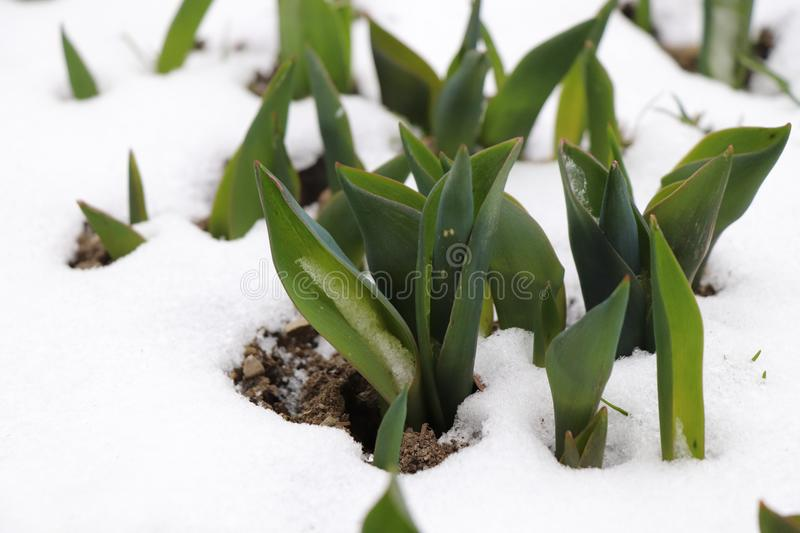 A few group leaves of tulips in the snow stock photo