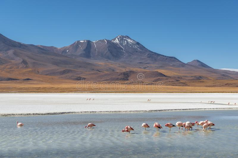 Flamingo Lagoon, Uyuni Region, Bolivia royalty free stock photo