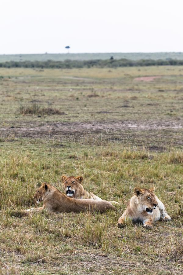 Few lions are resting. Lioness in the savanna. Kenya, Africa stock photography