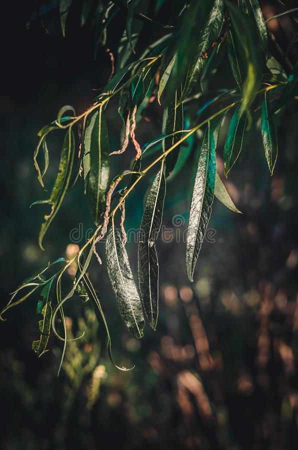 June`s warm sunlight plays in the green leaves of a weeping willow Salix. Bright sunbeams are reflected from the succulent green stock photography