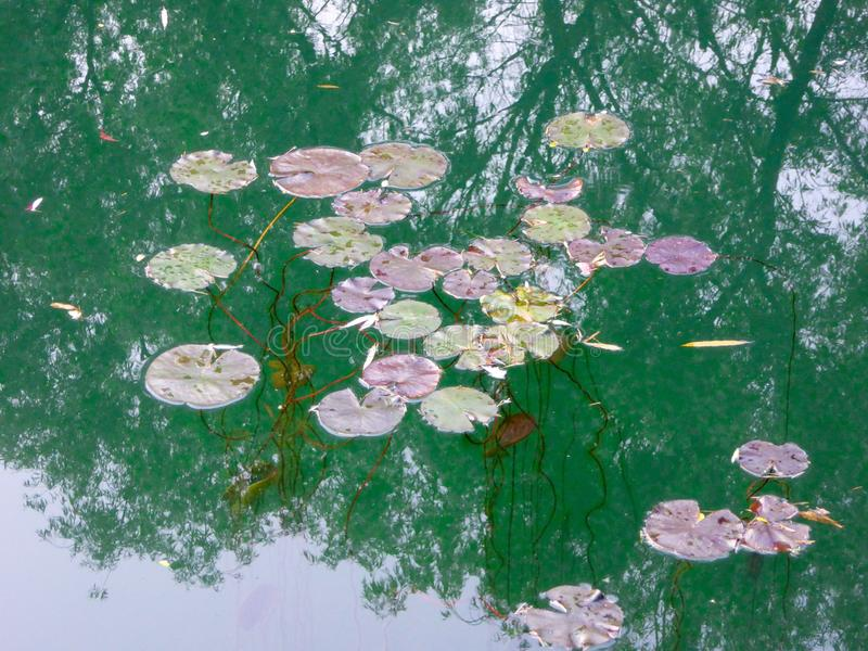 Few lotus Leaf floating on the water royalty free stock photos