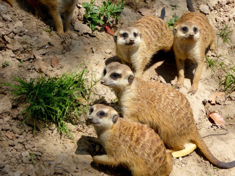 Few Meerkats looking around stock photos