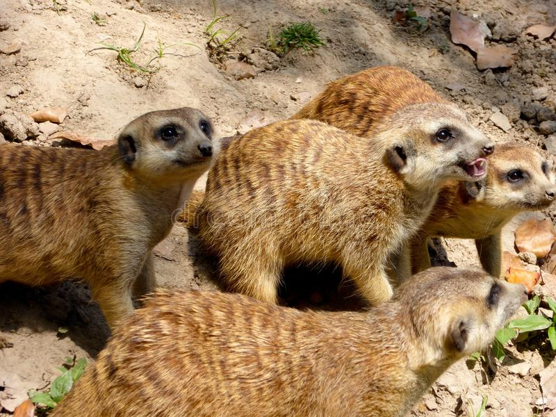 Few Meerkats waiting for their food royalty free stock image