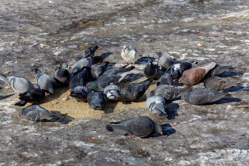 Few pigeons sit on the ground and peck the food pieces of bread. Birds and birdwatching. Fauna and nature. Birds in the city. Birds care royalty free stock images