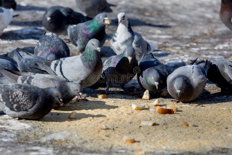 Few pigeons sit on the ground and peck the food pieces of bread. Birds and birdwatching. Fauna and nature. Birds in the city. Birds care royalty free stock photos