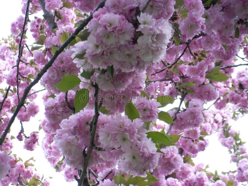 Pink flowers on tree stock images