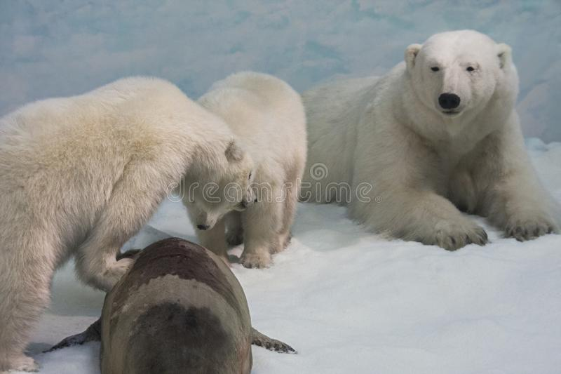 Polar bears. A few polar bears have hunted a seal royalty free stock image