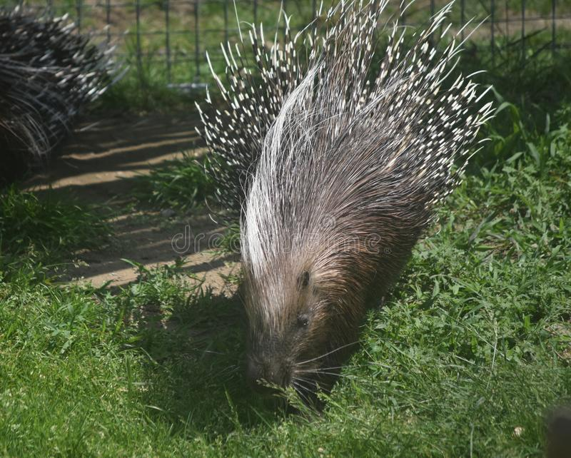 A few porcupines with brown and white quills. Cute porcupine with white and brown quills stock images