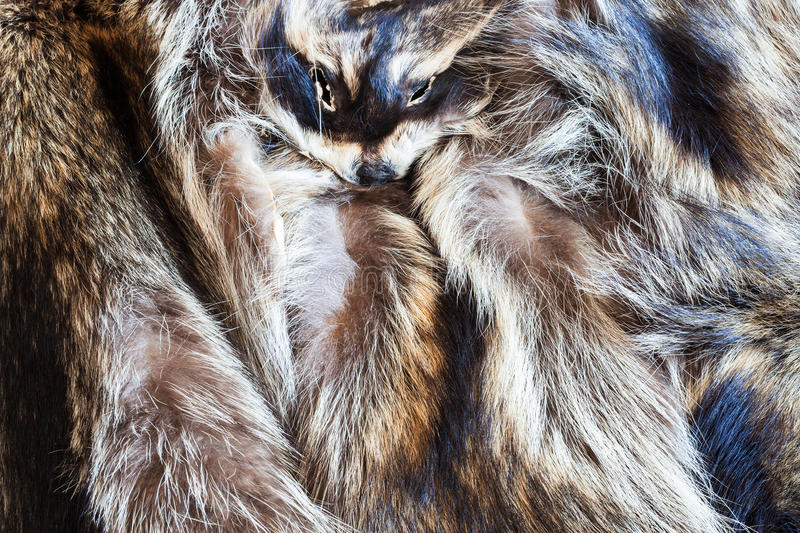 Few raccoon pelts with head. Material for fur clothing - few raccoon pelts with head stock photo