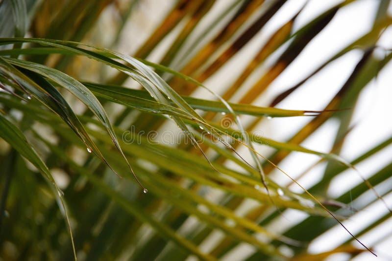A few raindrops on Palm Leaf stock photo