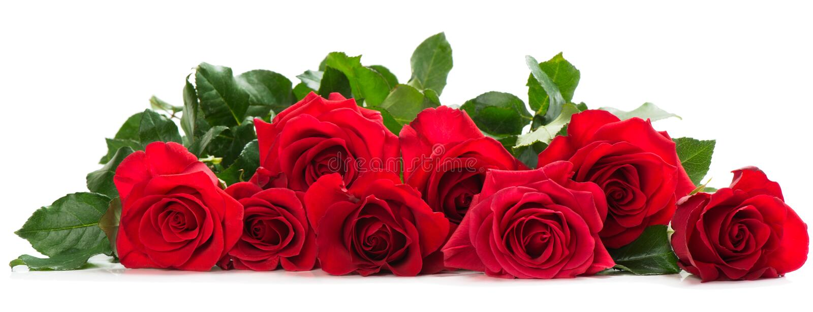 Few red roses. Border from beautiful red roses on white background royalty free stock photo