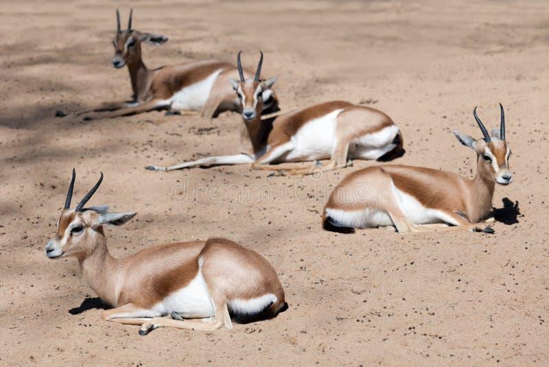 Few siedzi gazele na piasku obrazy royalty free