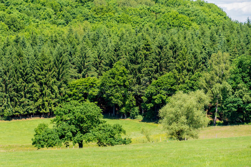Few single trees in front of mixed forest. Few single trees in front mixed forest royalty free stock image