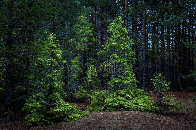 Firs in a dense summer forest royalty free stock image
