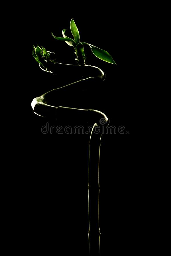 A few stems of Lucky bamboo on black background; with space for text. Spa concept royalty free stock photos