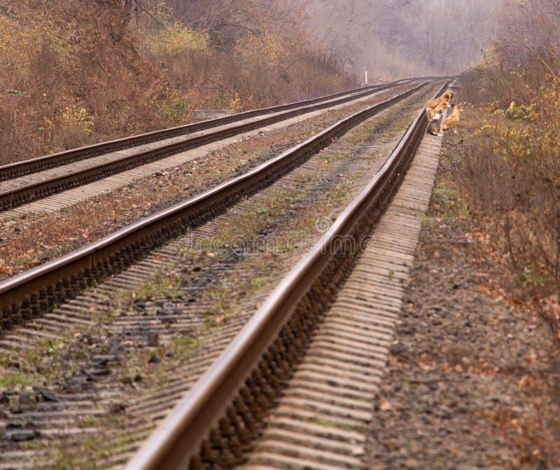 Cute Dog Walking Along Railroad Tracks Stock Photo - Image