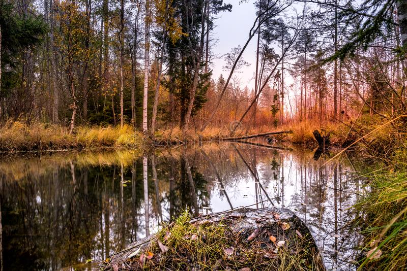 A few trees fallen by beavers towards small creek running from very small lake, autumn colors in wild scandinavian forest stock photo