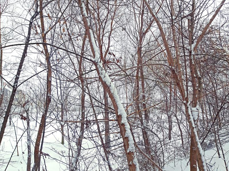 A few trees and a lot of snow royalty free stock image