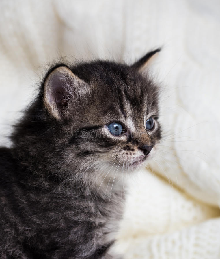 Few weeks old tabby kitten with fluffy fur and blue eyes royalty free stock images