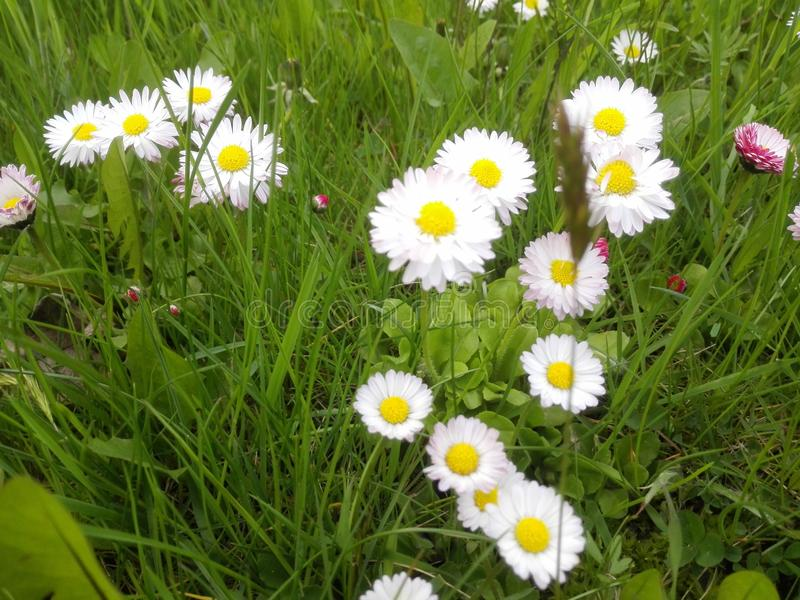 Few White petal daisy between grass royalty free stock photos
