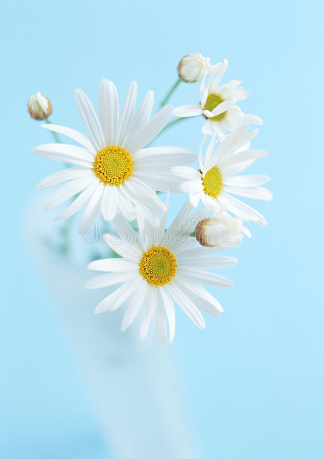 Few white sunflower flowers on blue background stock image