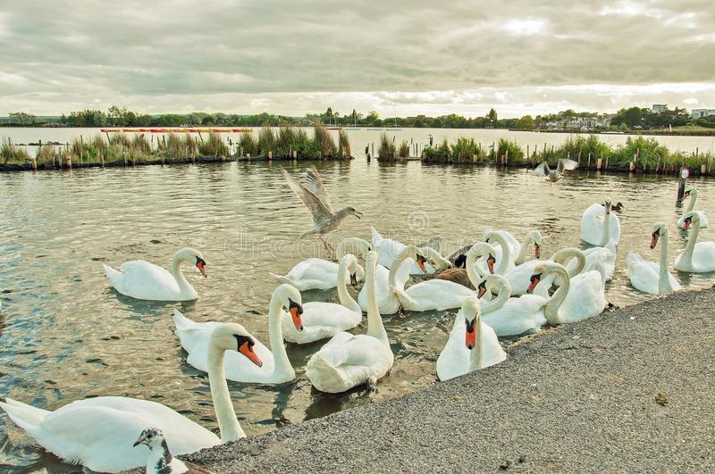 Swans and wild birds walking and swimming in the park. royalty free stock photos