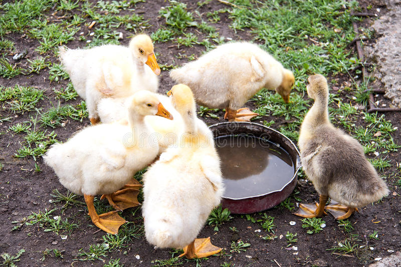 Few young goose drink water on the grass stock images