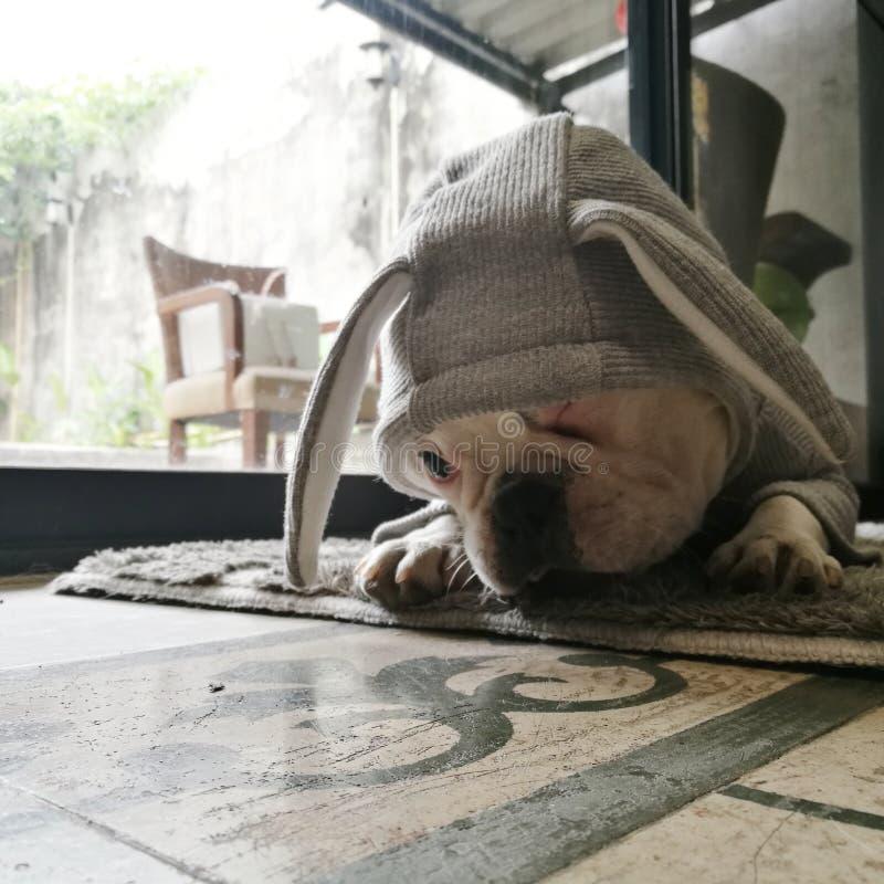 FF法国牛头犬 免版税库存照片