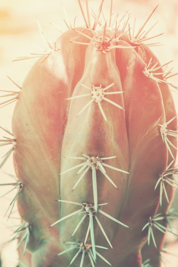 FFaded borrou o fundo tropical da natureza Cacto com agulhas longas O verde de jade do rosa do inclinação tonificou Surrealista f fotografia de stock