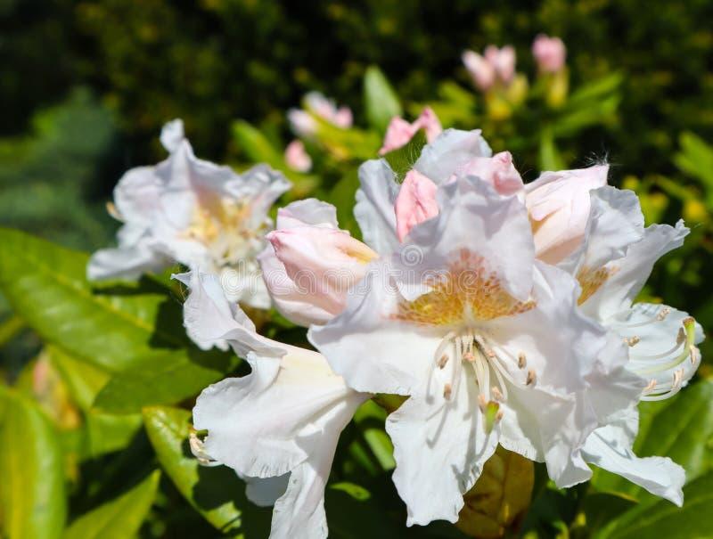 ?ffnung der sch?nen wei?en Blume Rhododendron Cunninghams wei?en im Fr?hjahr Gartens Im Garten arbeitenkonzept lizenzfreie stockbilder