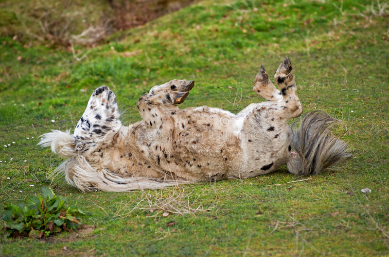 Fièvre tachetée de poney au printemps images stock