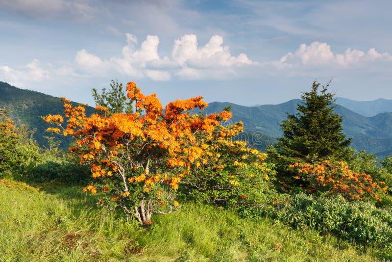 Fiamma Azalea Appalachian Mountains North Carolina immagini stock