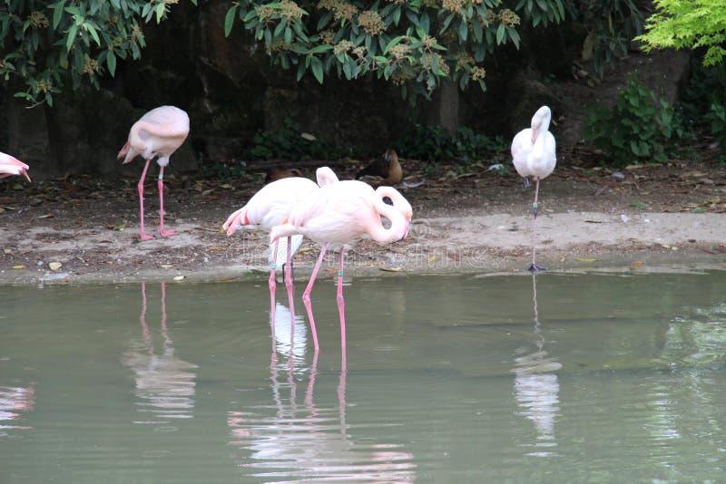 Fiammingo di rosa sotto gli alberi ed al bordo di una distesa acqua fotografie stock libere da diritti