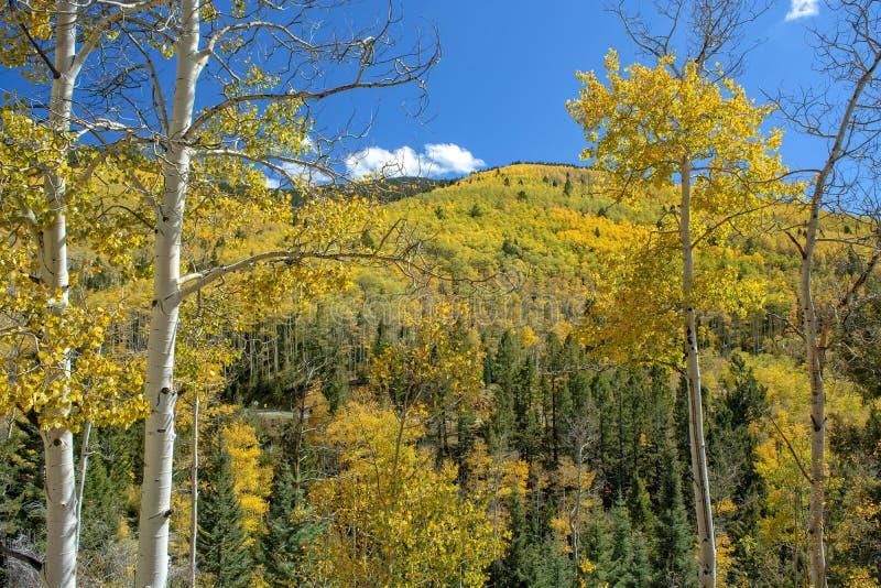 Fianco di una montagna delle tremule in autunno fotografia stock