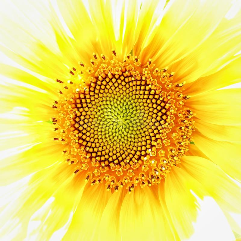 Fibonacci in girasole fotografia stock