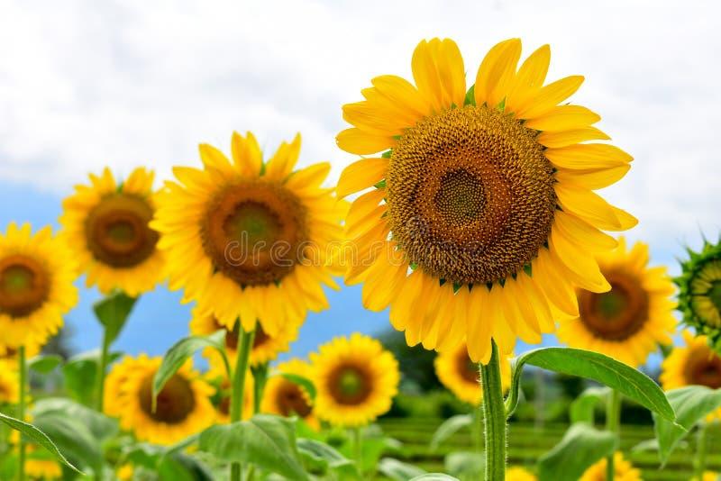 Fibonacci in un girasole fotografia stock libera da diritti