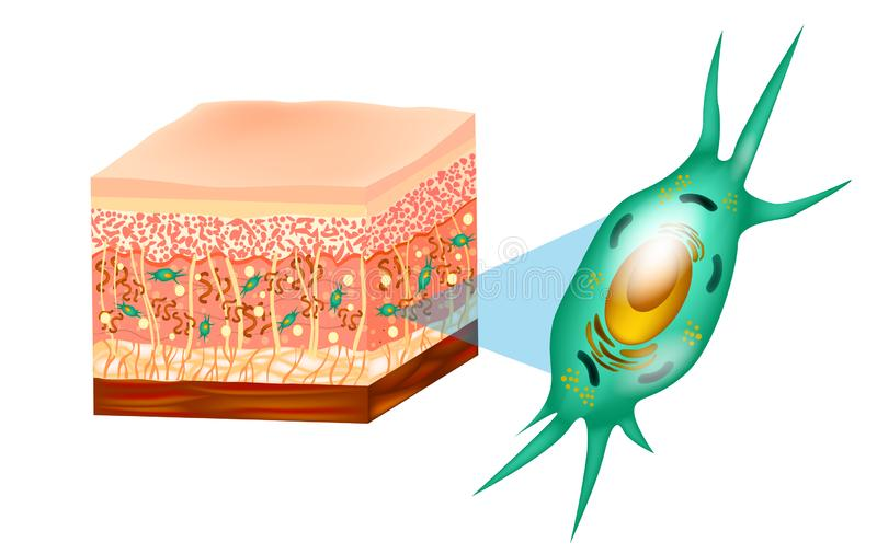 Fibroblast and skin structure stock illustration